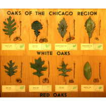 Common Oaks