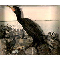 Double-crested Cormorant (Habitat Background)