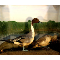 Northern Pintail (1)
