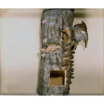 Northern Flicker (With Eggs)