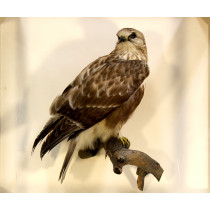 Rough-legged Hawk (With Prey - Mouse)