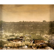 Killdeer (With Chicks)