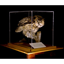 Great Horned Owl (All Plexi Case)