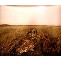 Short-eared Owl (Habitat Background)