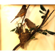 American Robin (With Chicks)