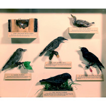 Feather Changes of Starling