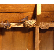 Barn Swallow (With Eggs)