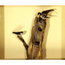 Tree Swallow (1)