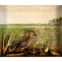 Blue-winged Teal (With Chicks)
