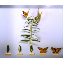 Monarch Butterfly (Life Cycle)