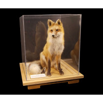 Red Fox (Sitting Adult)