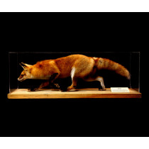 Red Fox (Walking Adult)
