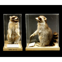 Common Raccoon (Standing)