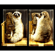 Common Raccoon (Sitting)