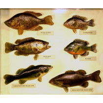 Sunfishes