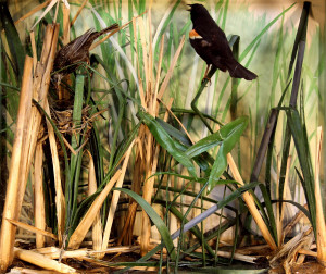Red-winged Blackbird (1)