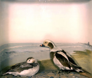 Long-tailed Duck (2)