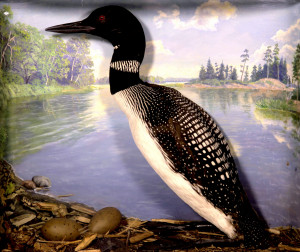 Common Loon (With Eggs)
